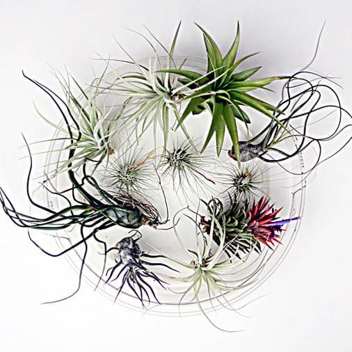 Ideas For Creating With Tillandsias Joy Us Garden
