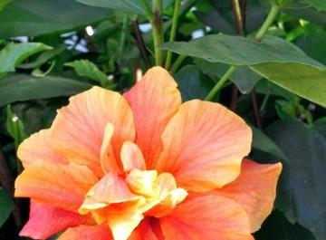 Gorgeous hibiscus