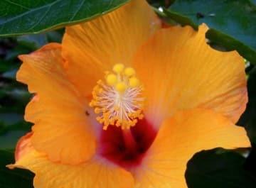 Stunning orange hibiscus