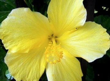 Vibrant yellow hibiscus
