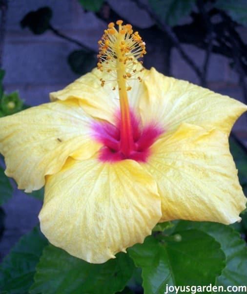Flower Friday:  Hibiscus