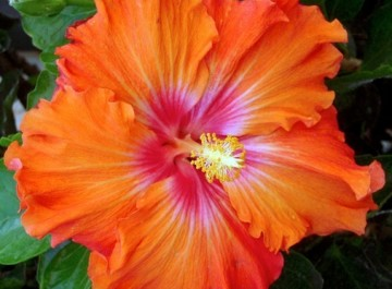 Bold and colorful hibiscus