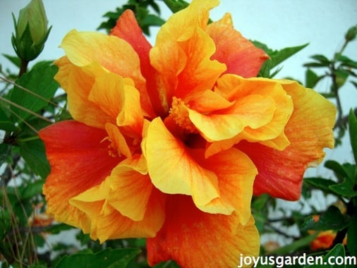 Fiery and bright hibiscus