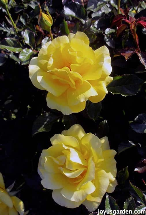 Yellow Roses Options