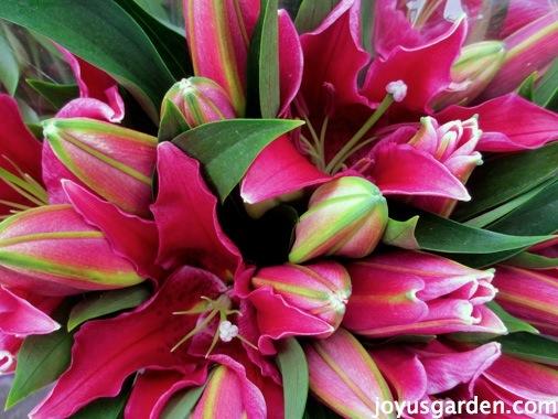 Stunning lillies