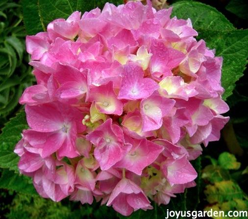 Flower Friday: Pink Hydrangeas