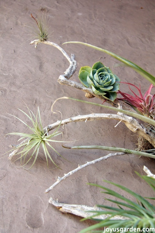 An Easy Piece Of Art With Driftwood, Tillandsias & Succulents