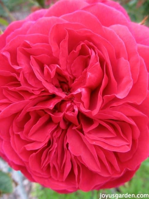 Pink Roses Varieties