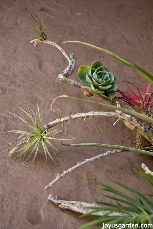 air plants aka tillandsias & 2 succulents growing on a piece of driftwood