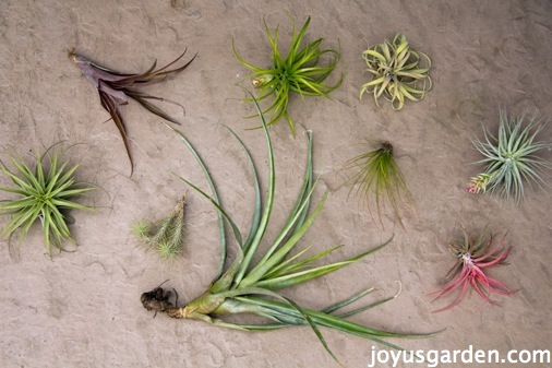 looking down on a variety of air plants aka tillandsias