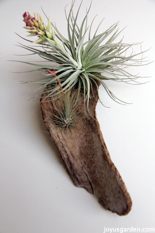 Air plant on weathered wood