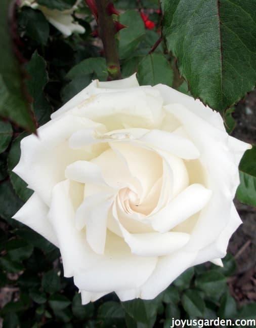 Flower Friday - White Roses -  