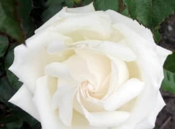 white Rose, nell foster gardening expert