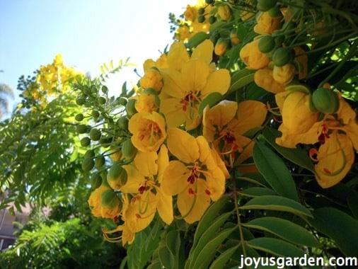 Santa Barbara Flowering Trees