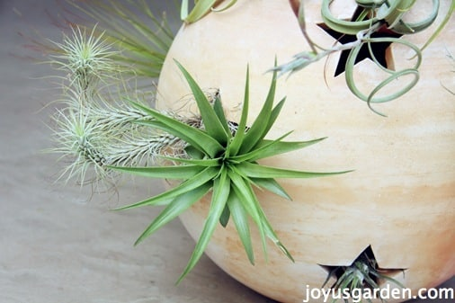 Air plants in the garden globe