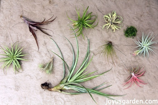 Air plants ready to be placed