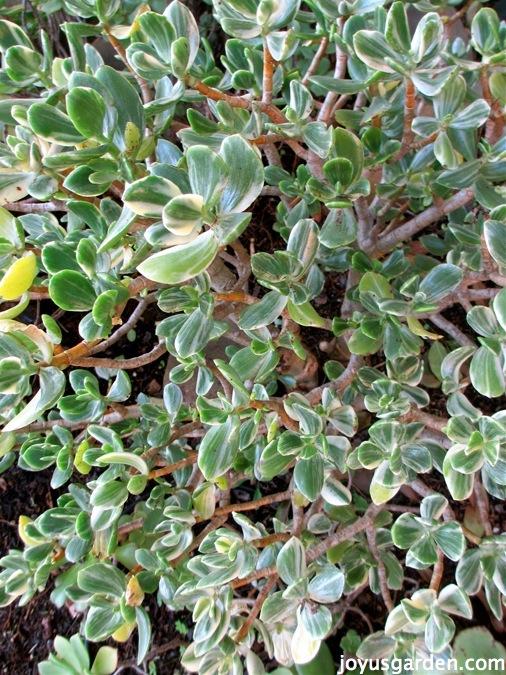 Varigated jade plant