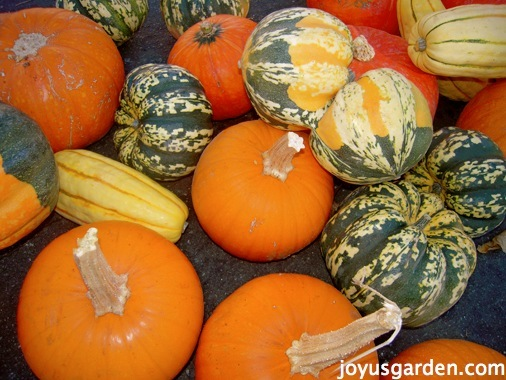A variety of squashes and pumpkins