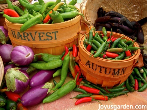 Baskets of green chilies and bright purple eggplants