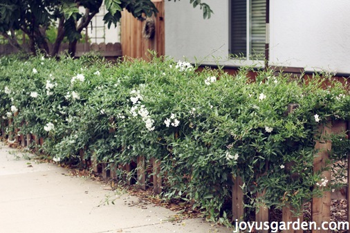 how to grow star jasmine on a colorbond fence