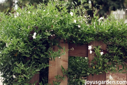 potato vine care
