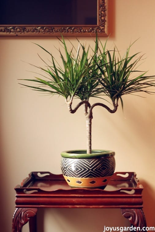 a candelabra form dracaena marginata in a patterned pot sits on a small table