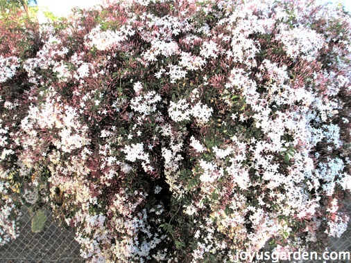 Huge and dense pink jasmine plant growing an a chain link fence
