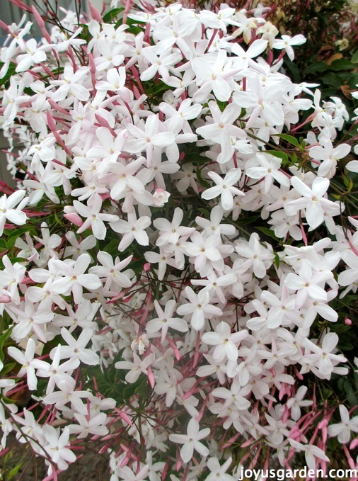 Big cluster of fully opened pink jasmine blooms, there are so many flowers you can't see the foliage underneath