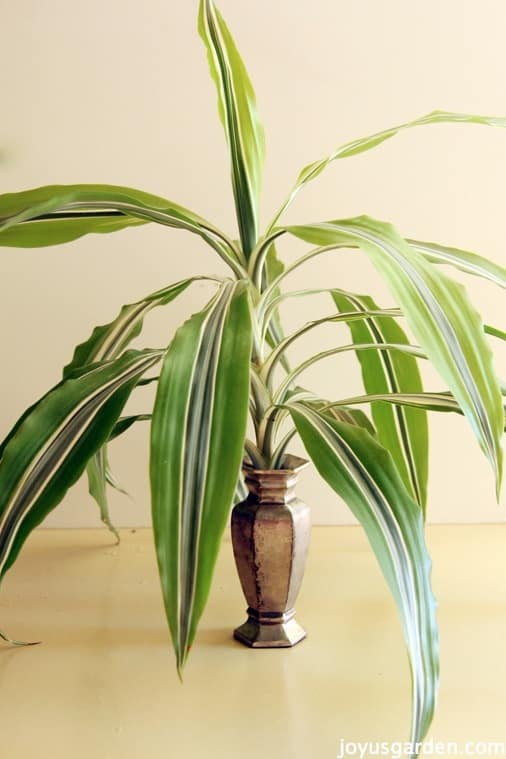 Easy Dracaena Propagation