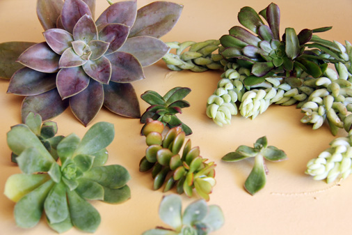 Succulent cuttings