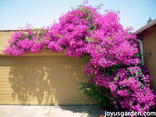 a large magenta bougainvillea in full bloom is trained to climb up & over a garage door