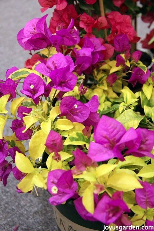 close up of a bougainvillea with magenta flowers & yellow & green variegated leaves