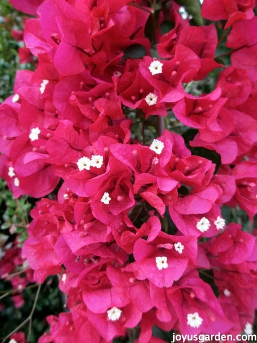 close up of deep magenta bougainvillea flowers in full bloom