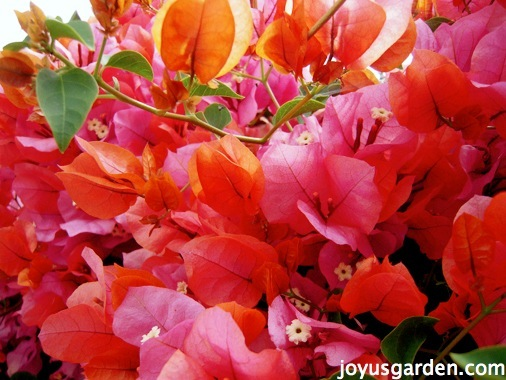 close up of an orange & pink bougainvillea this is bougainvillea rosenka