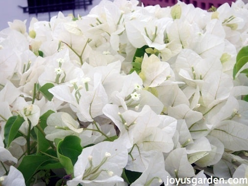 Close up of a white Bougainvillea in full bloom this is bougainvillea mary palmer's enchantment