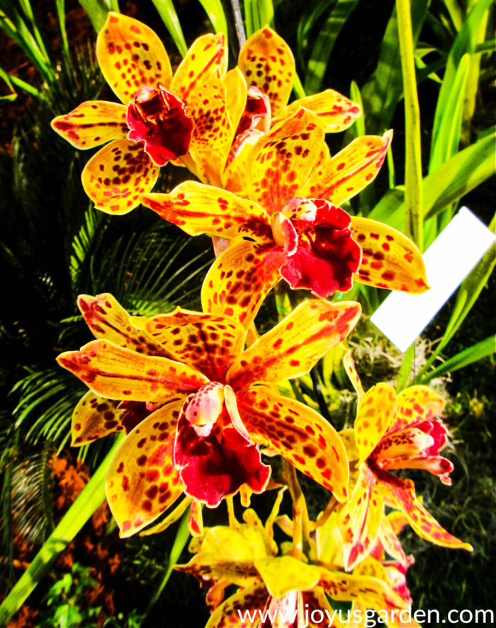 Cymbidium Orchid Care