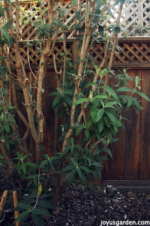 Pruning Buddleia Davidii Aka Butterfly Bush -  