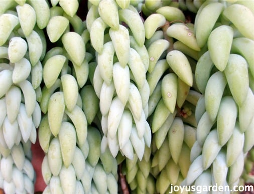foliage of the burros tail sedum succulent up close so you can see that braided pattern formed by how the leaves grow
