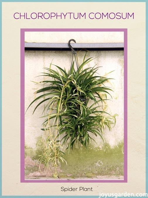 Spider Plantblog_new
