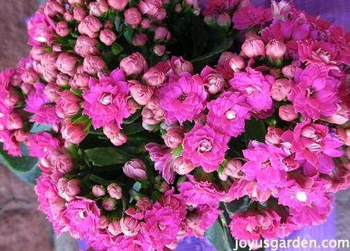 Kalanchoe Care As A Houseplant & In The Garden on kalanchoe blossfeldiana care, kalanchoe care indoors, kalanchoe flower,