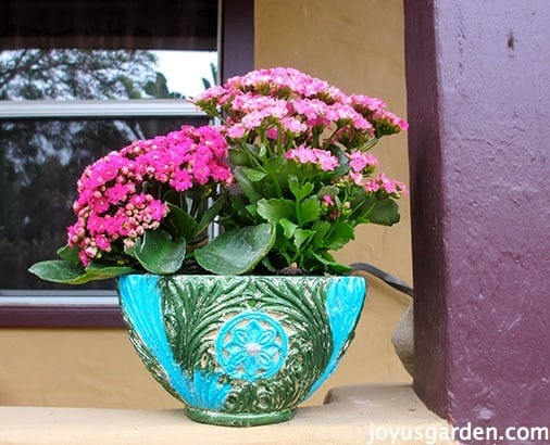 Kalanchoe Care: As A Houseplant & In The Garden - |