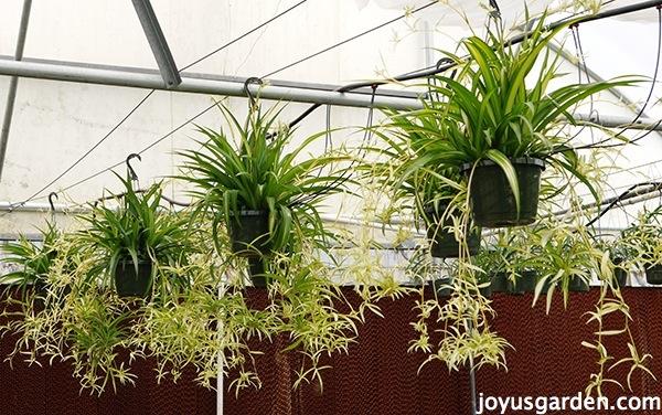 spider plants easy care durable as can be joy us garden joy us garden. Black Bedroom Furniture Sets. Home Design Ideas