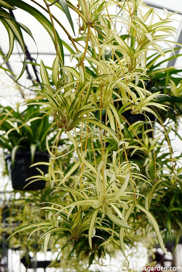 Durable Plants For The Garden: Spider Plants: Easy Care & Durable As Can Be