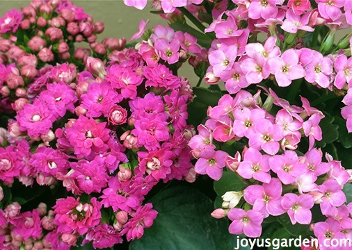 With Lots Of Long Lasting Flowers Is Just The Cat S Meow Enter Por Kalanchoe Blossfeldiana Which Most Commonly Sold As A Houseplant But