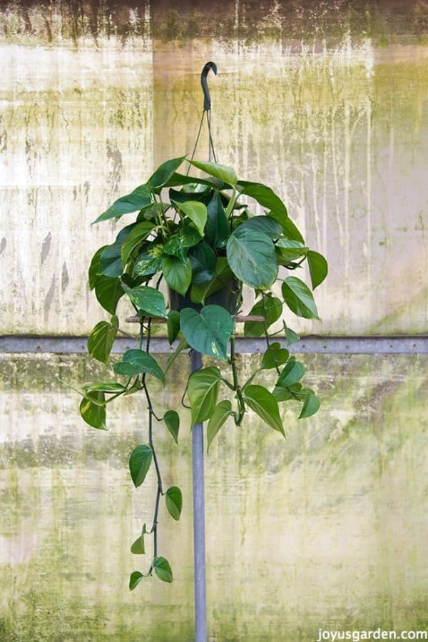 Dark Green Leaf Pothos In A Hanging Pot Against Rustic Background