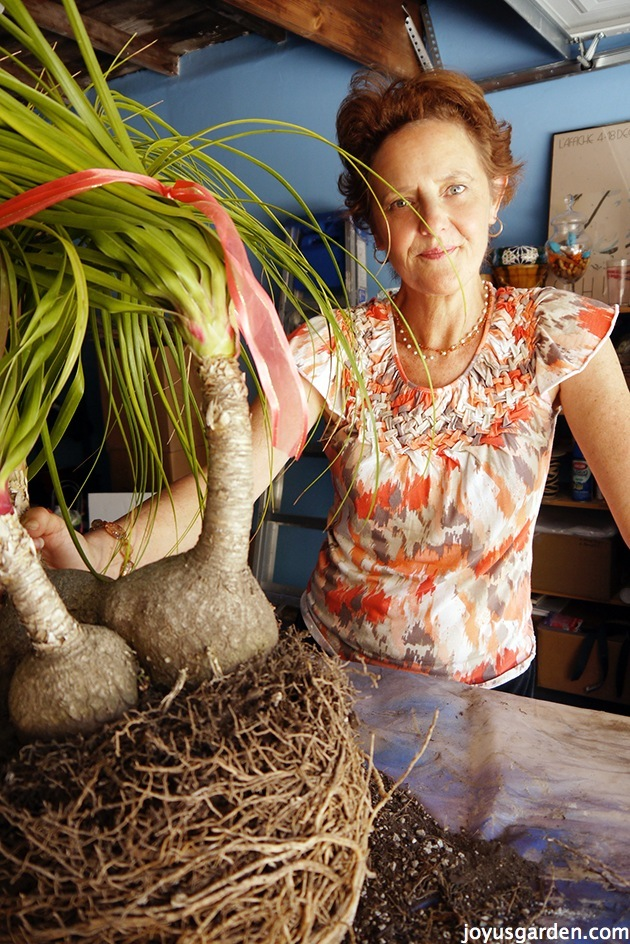 how-to-care-for-and-repot-a-ponytail-palm