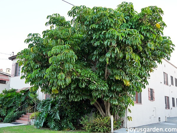 Schefflera Amate: This Big, Bold & Beautiful Houseplant ...