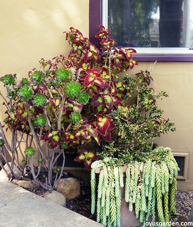 I Limit My Coleus Cravings To 3 Plants And Usually Snip Off Most Of Their  Blooms. Read On To Find Out Why Iu0027m Letting Mine Flower This Year.