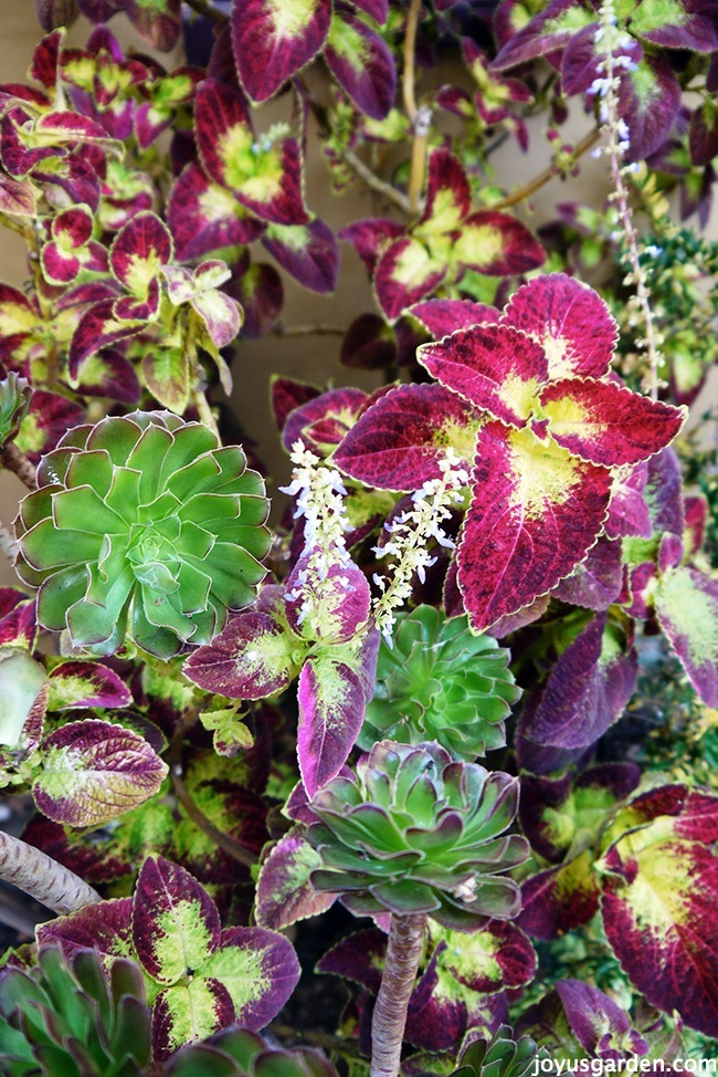 Why I'm Letting My Ginormous Coleus Flower Like Crazy This Year