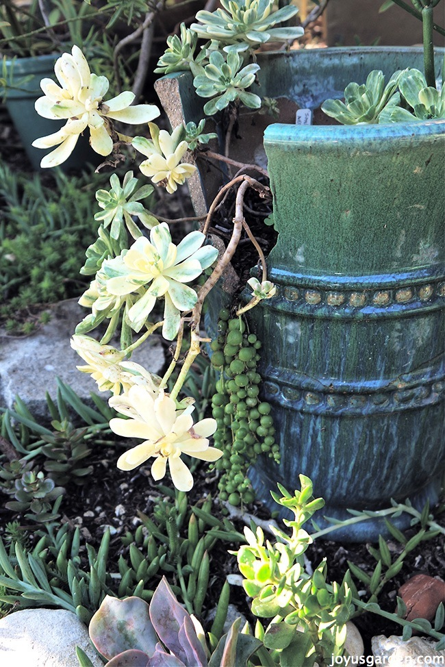 a broken blue pot sits in a garden with succulents growing out of it